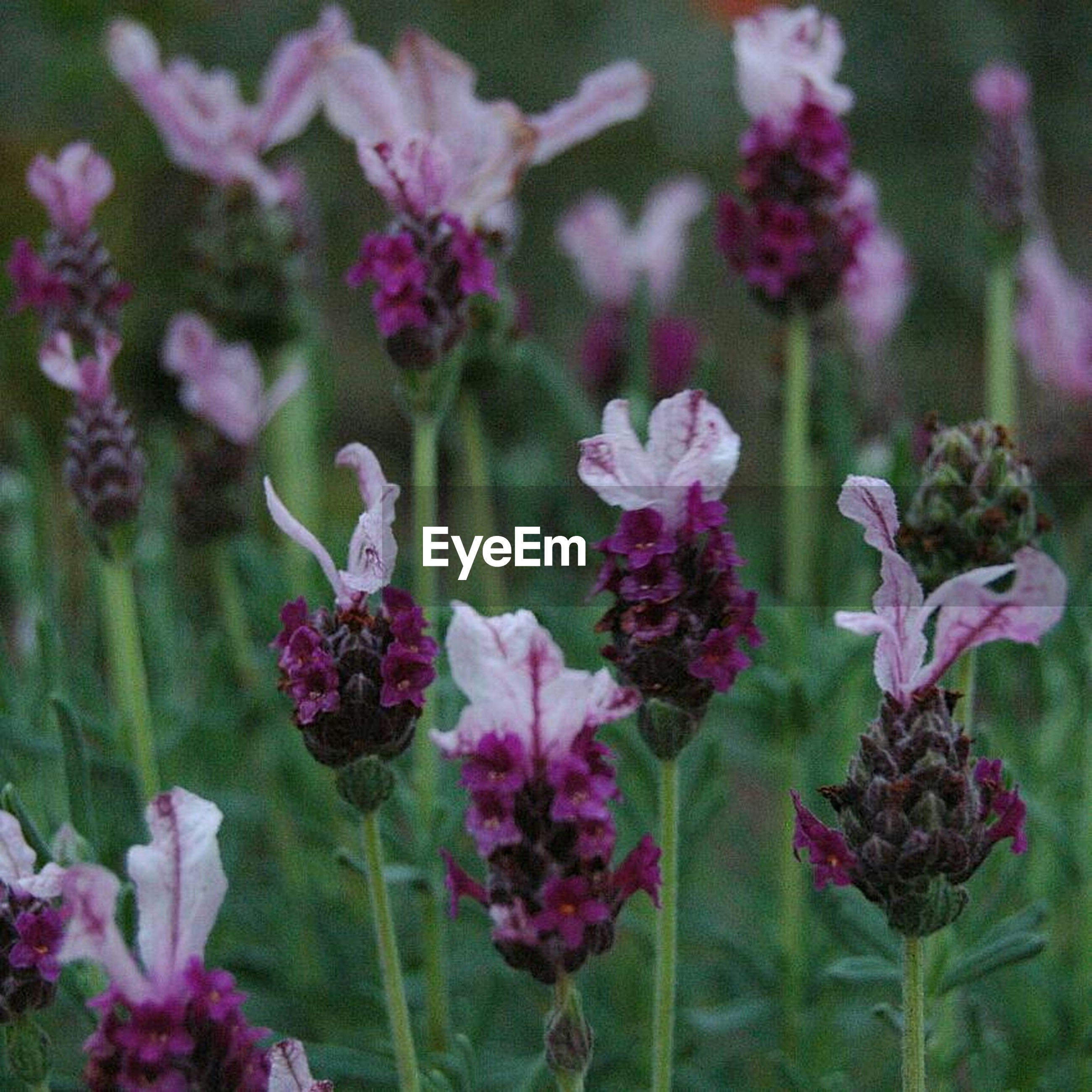flower, freshness, growth, fragility, beauty in nature, plant, petal, pink color, nature, blooming, focus on foreground, stem, flower head, close-up, purple, in bloom, field, leaf, bud, outdoors