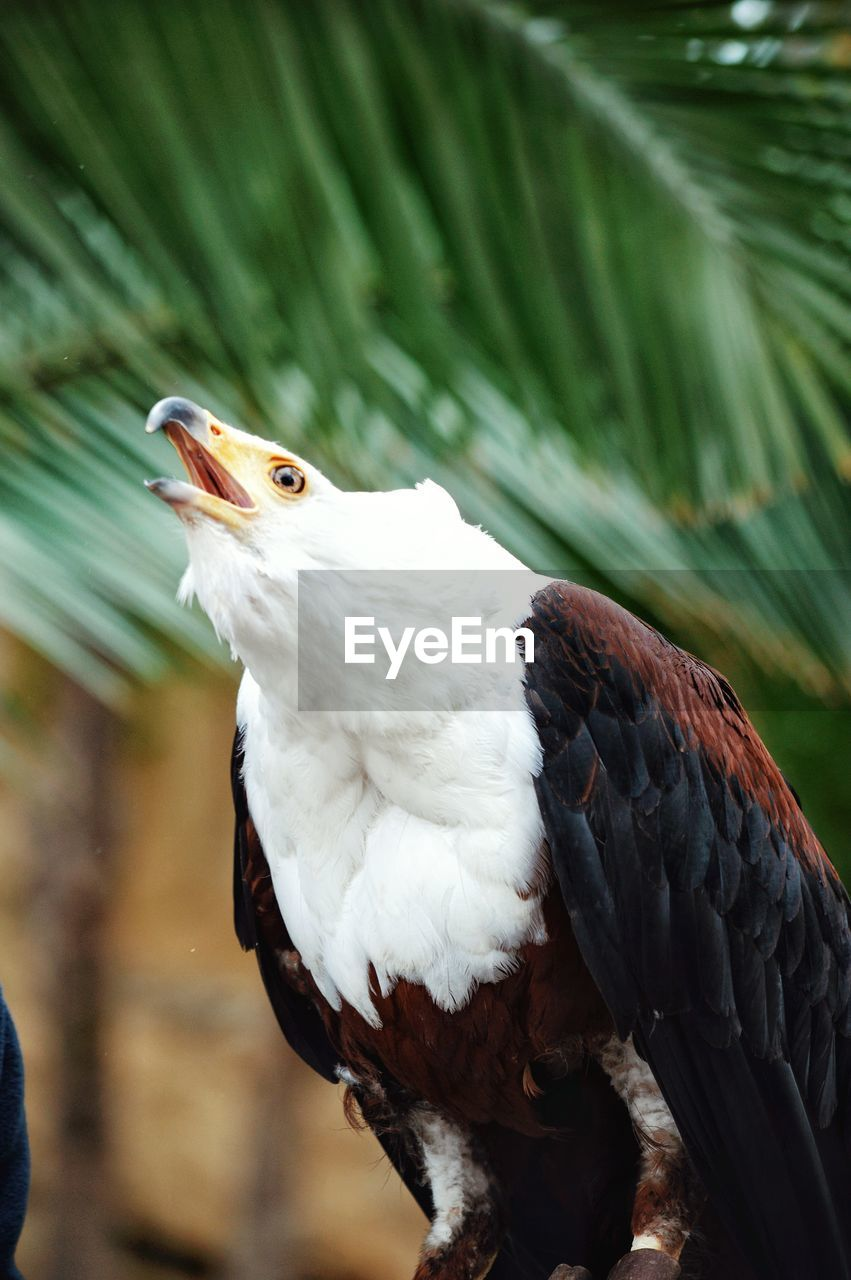 bird, animal, vertebrate, animal themes, animals in the wild, animal wildlife, one animal, focus on foreground, close-up, no people, perching, day, nature, tree, plant, branch, bird of prey, outdoors, white color, beak, animal head, eagle