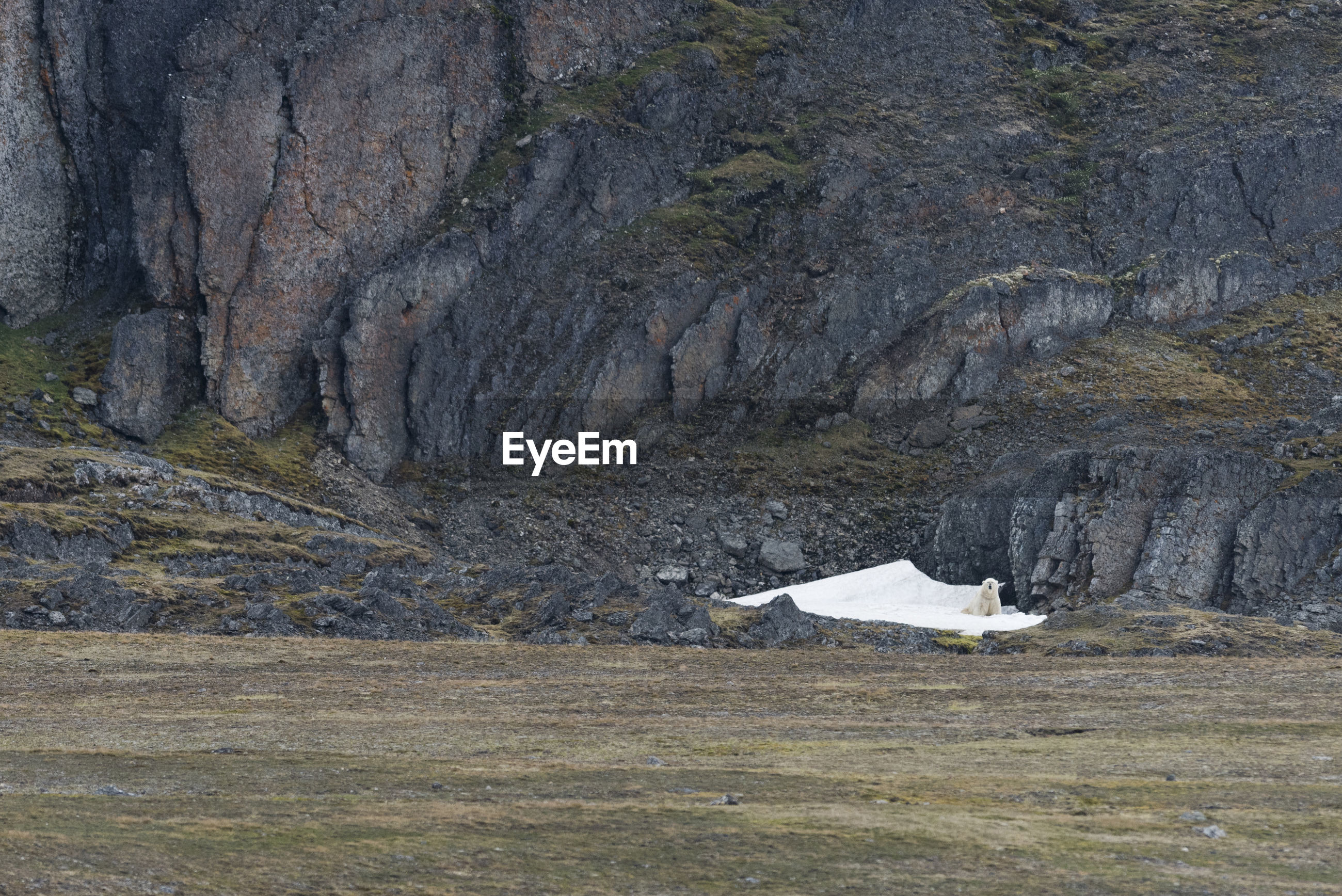 Polar bear, climate change