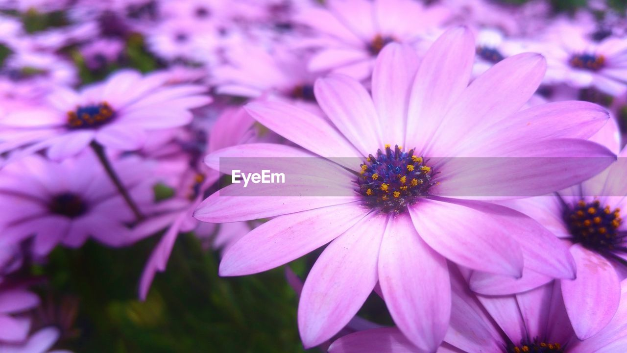 flowering plant, flower, petal, plant, fragility, flower head, vulnerability, freshness, inflorescence, beauty in nature, growth, pink color, osteospermum, close-up, focus on foreground, no people, nature, pollen, purple, day, outdoors