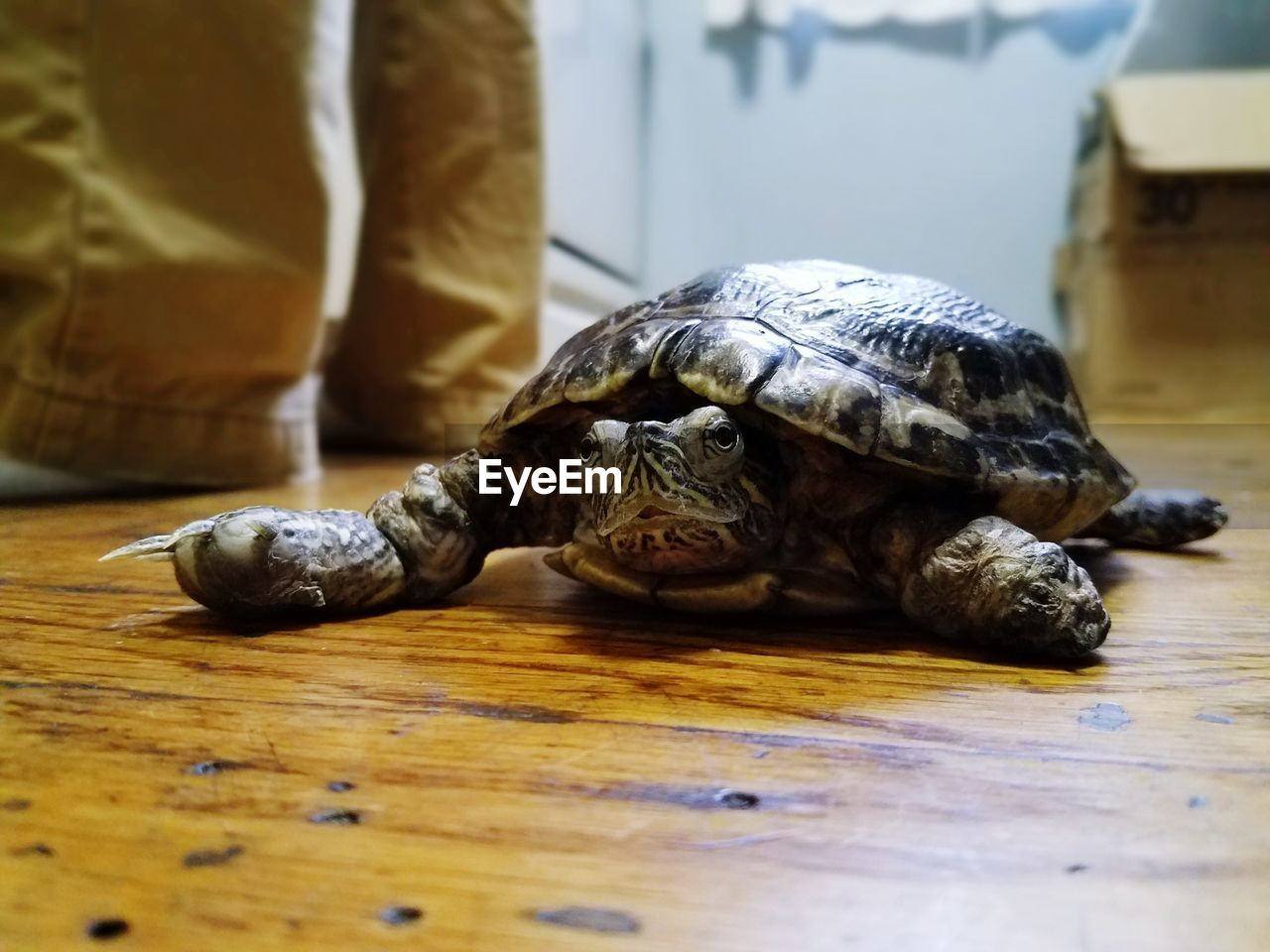 tortoise, reptile, animal shell, animal themes, one animal, tortoise shell, turtle, indoors, animals in the wild, table, day, animal wildlife, pets, no people, close-up