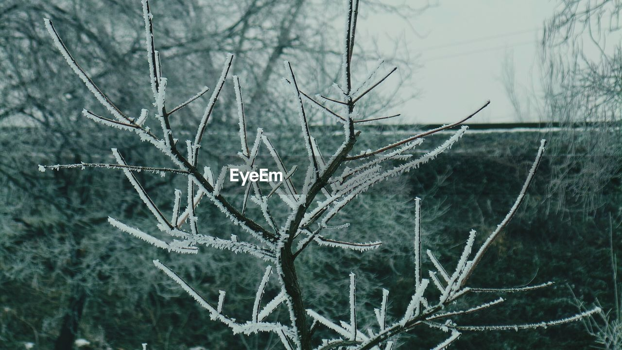 winter, cold temperature, nature, outdoors, day, no people, snow, close-up, plant, dead plant, focus on foreground, bare tree, tranquility, branch, beauty in nature, dried plant, tree, freshness