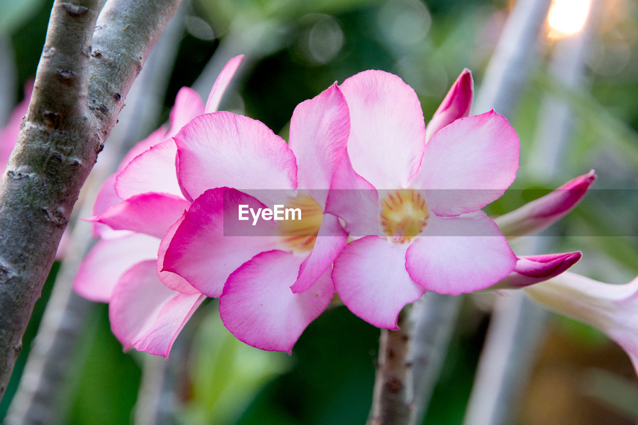 flower, petal, nature, beauty in nature, fragility, growth, close-up, pink color, freshness, no people, outdoors, flower head, day, plant, blooming