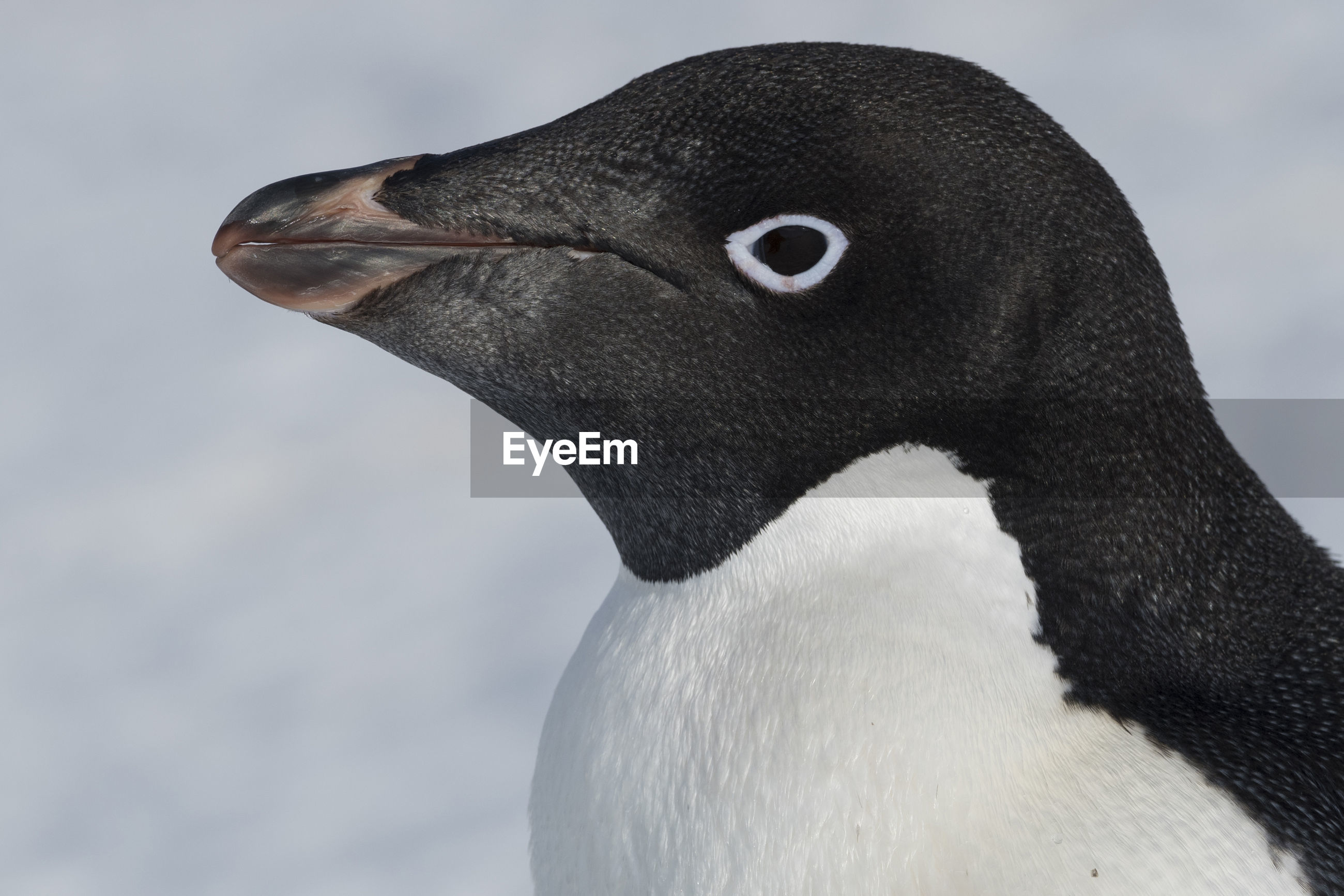 Close-up portrait of a adélie penguin at hope bay, antarctica.