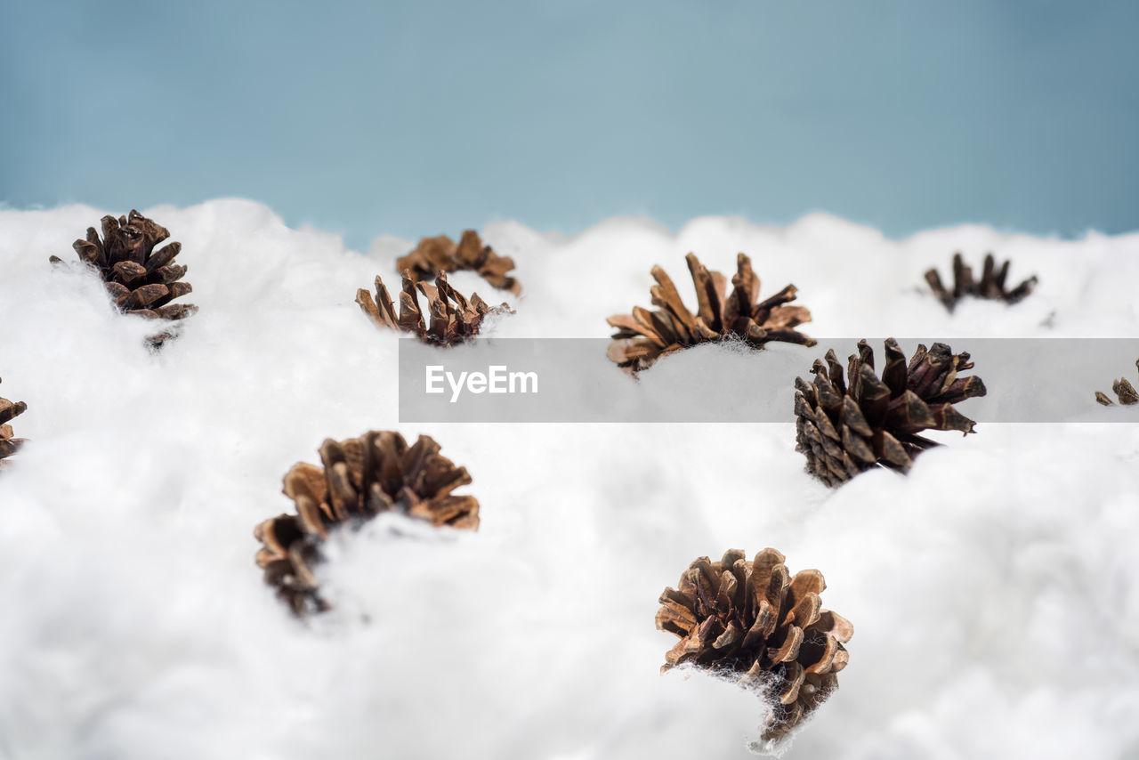 Close-up of pine cones in snow