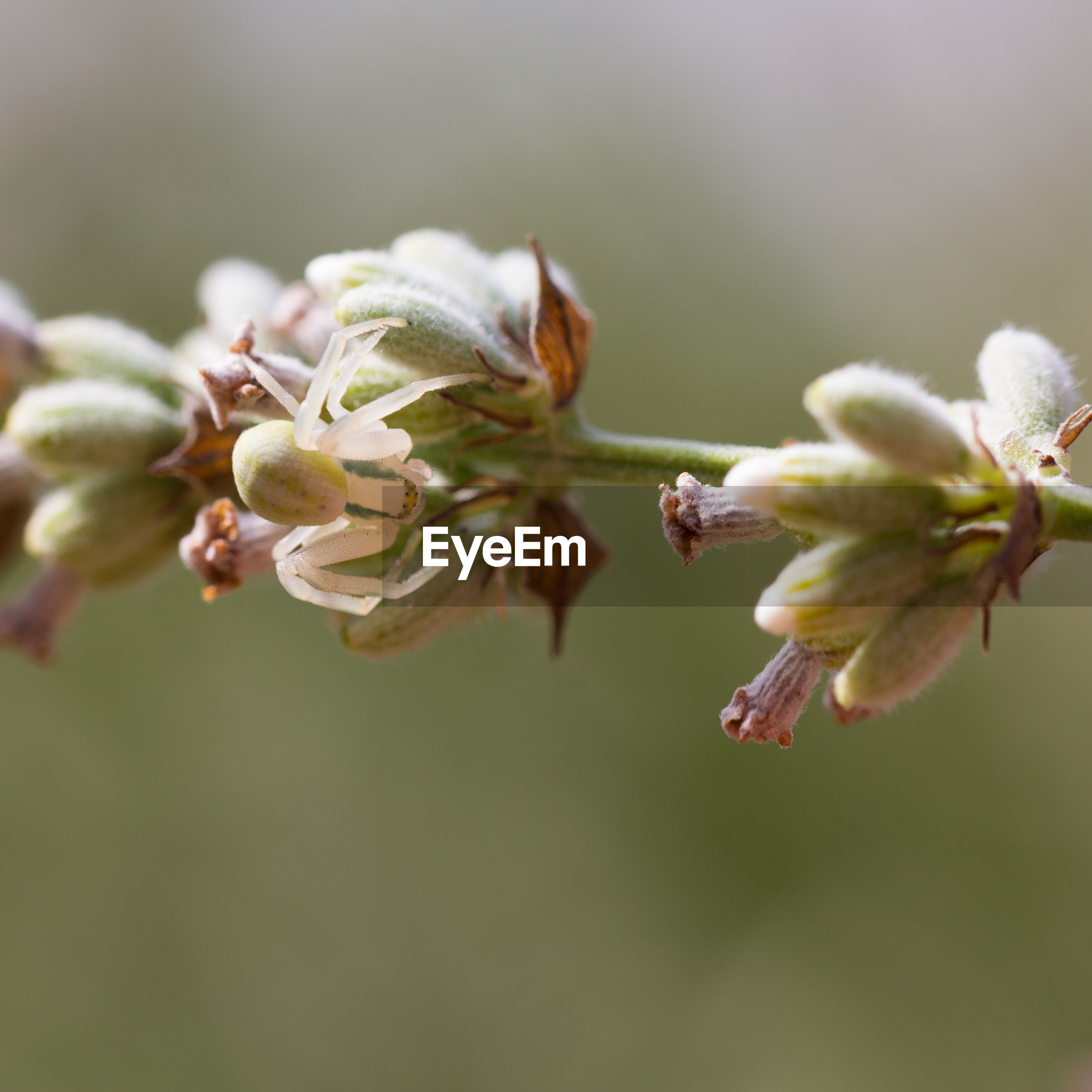 CLOSE-UP OF FRESH WHITE FLOWER BUDS IN SPRING