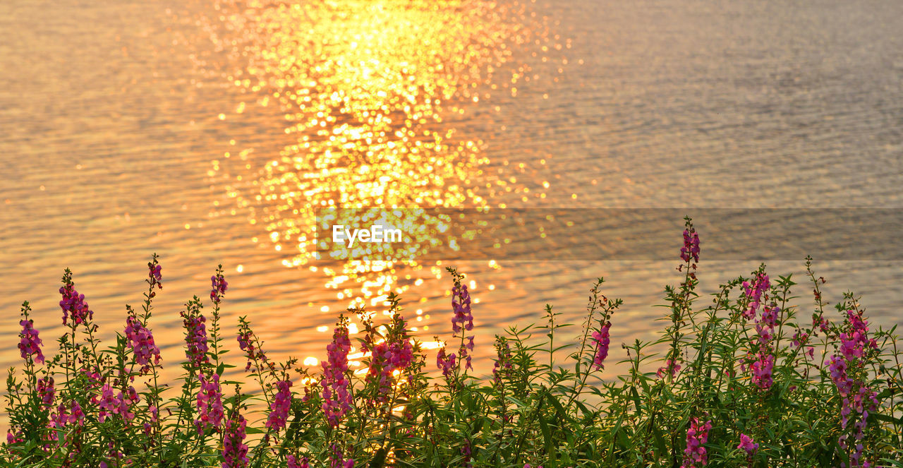 Close-up of flowering plants against sea during sunset