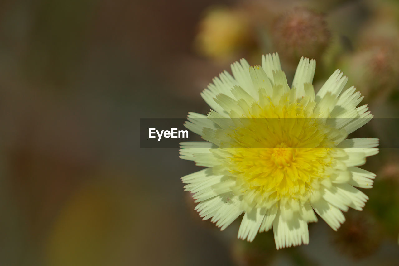 flower, beauty in nature, nature, yellow, fragility, petal, freshness, close-up, flower head, plant, no people, growth, outdoors, blooming, day