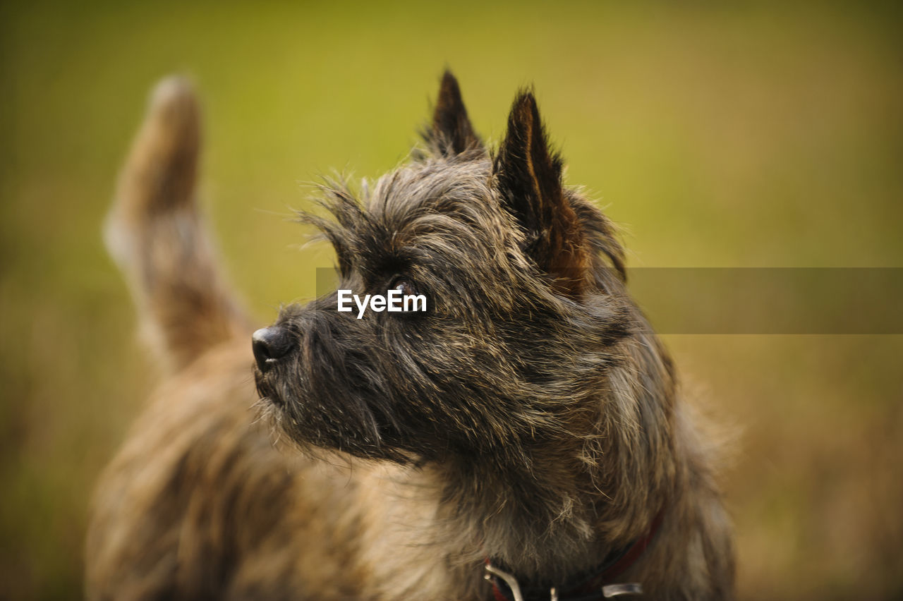 CLOSE-UP OF Yorkshire Terrier LOOKING AWAY
