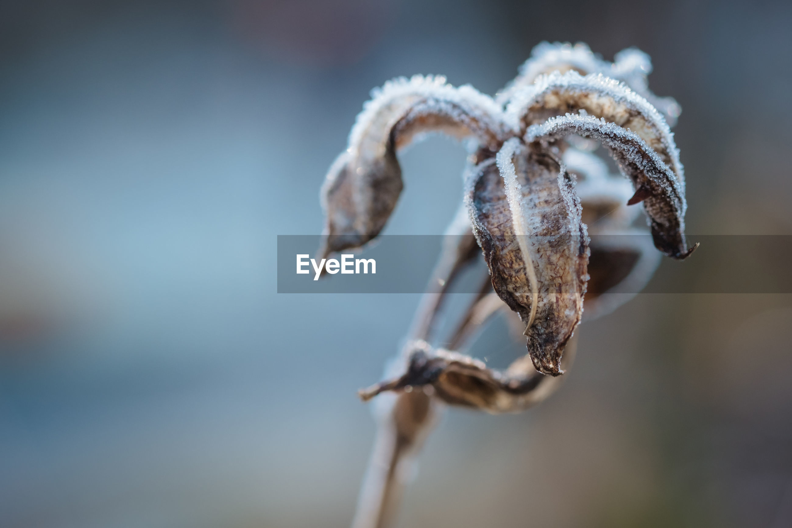 CLOSE-UP OF DRY FROZEN PLANT