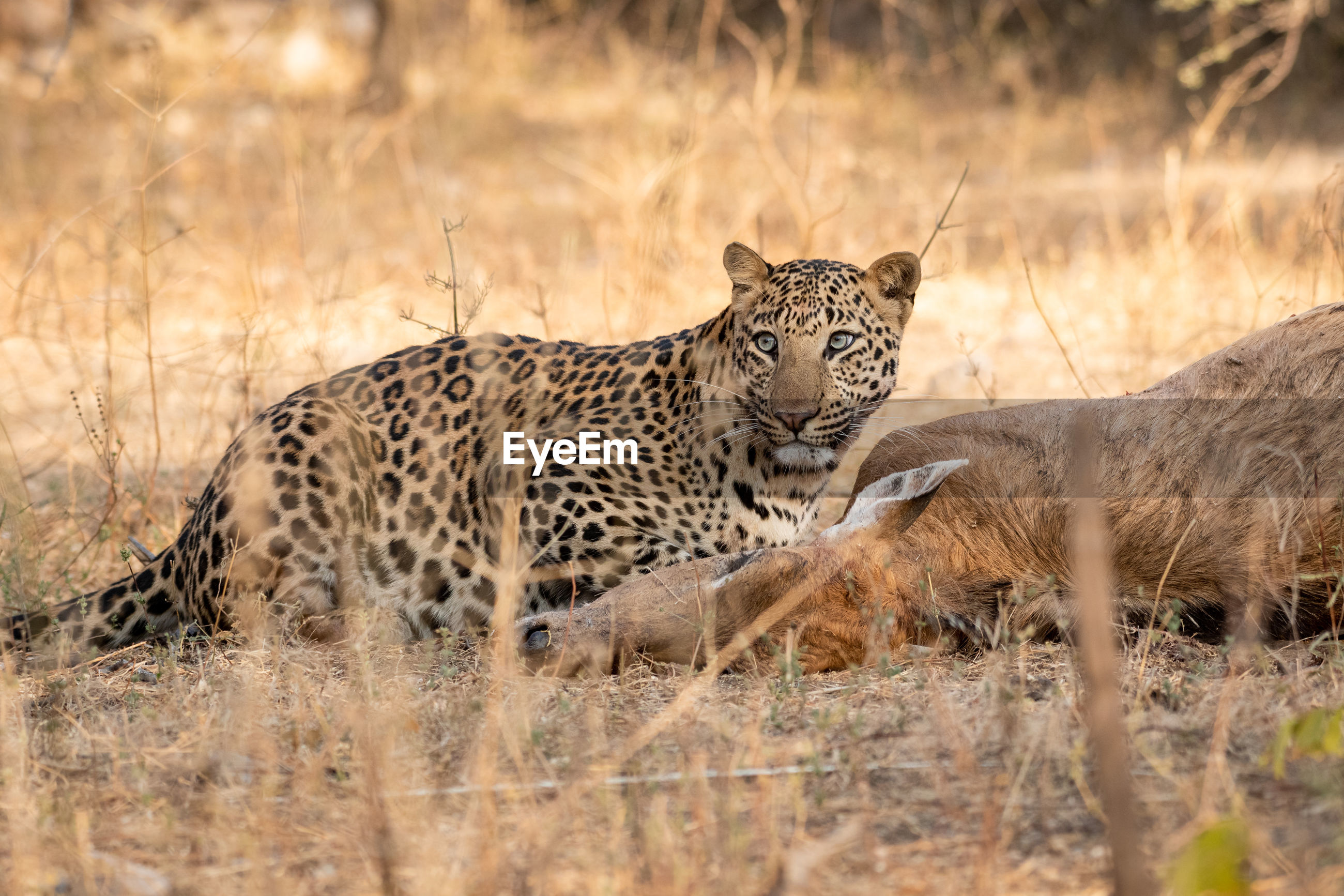Leopard eating deer