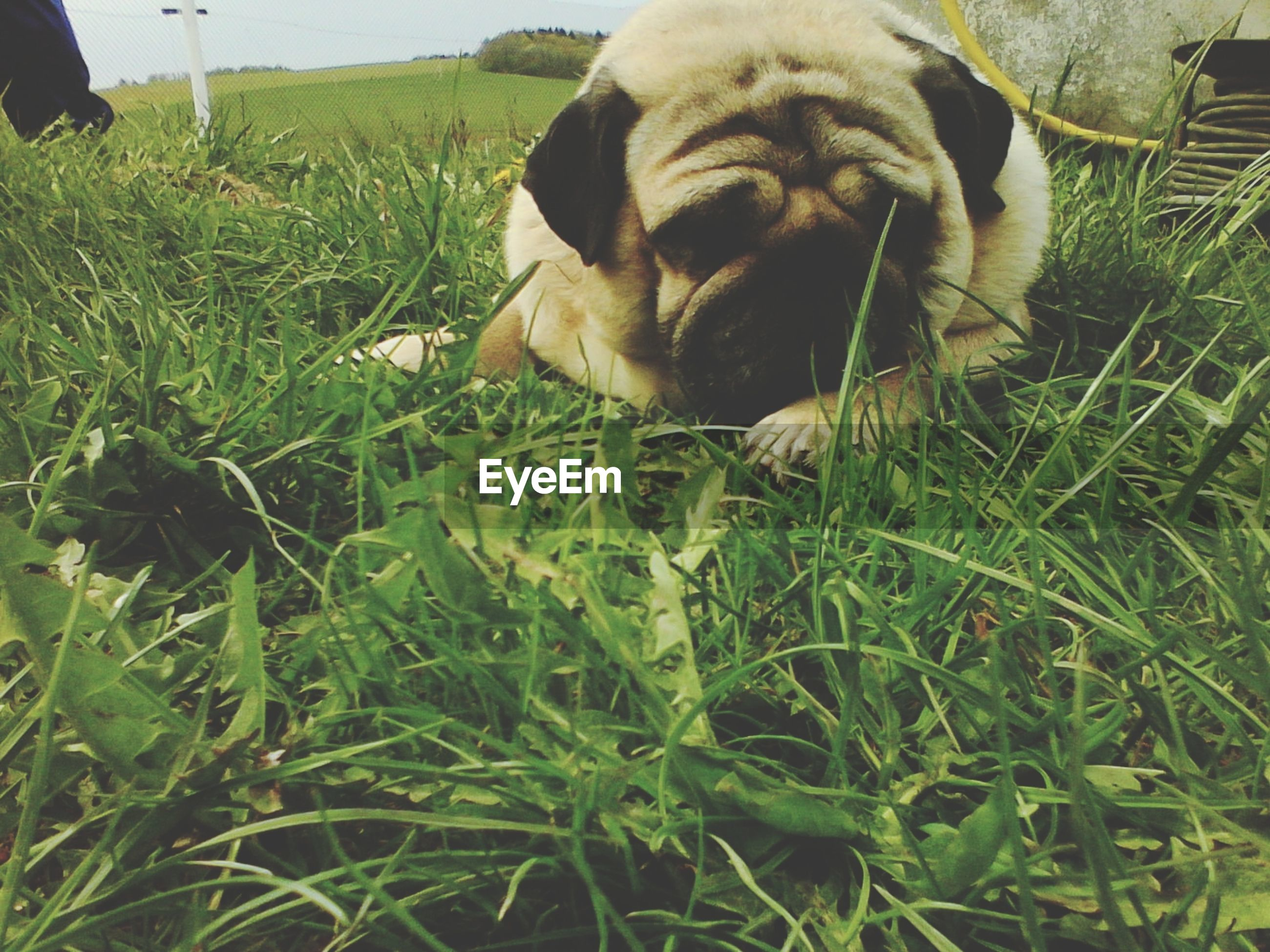 pets, domestic animals, mammal, dog, animal themes, one animal, grass, relaxation, field, grassy, lying down, green color, high angle view, resting, sitting, day, no people, outdoors, pet collar, nature
