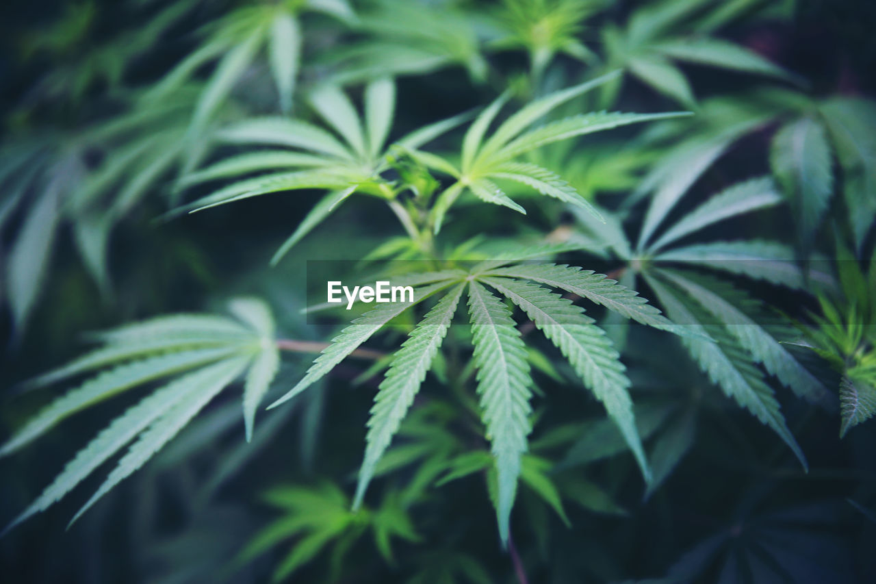 leaf, green color, plant part, growth, plant, close-up, marijuana - herbal cannabis, nature, cannabis plant, beauty in nature, no people, healthcare and medicine, focus on foreground, day, selective focus, herb, outdoors, narcotic, medicine, recreational drug, natural condition