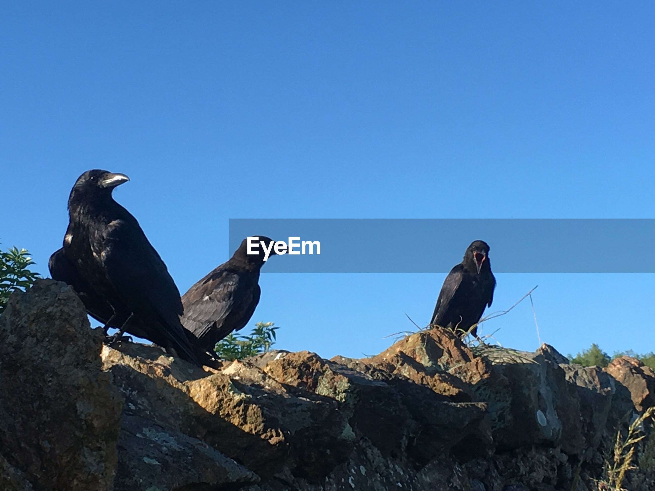 Crows perching on rock