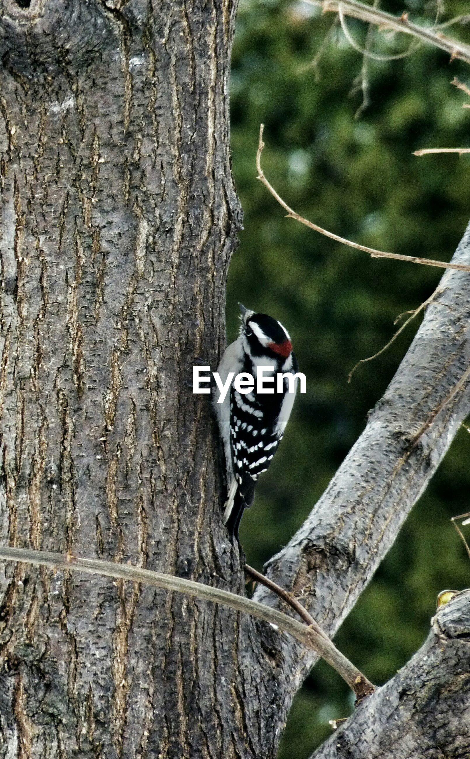 Downy woodpecker perching on tree trunk