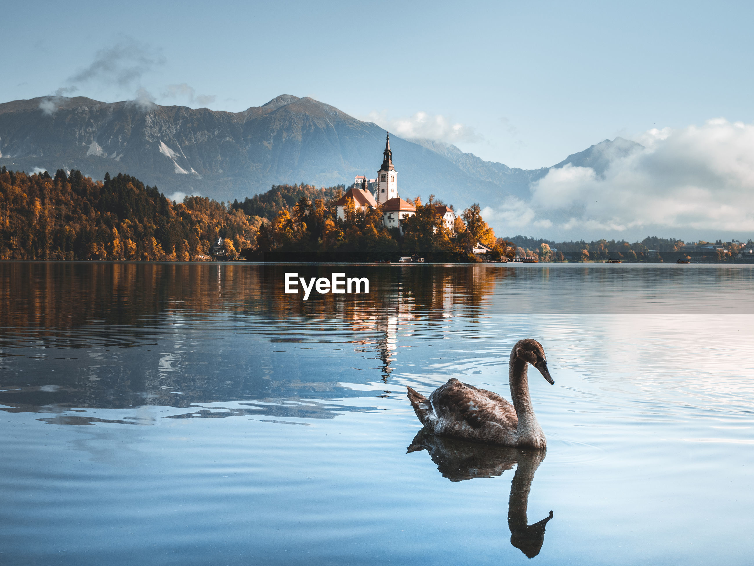 Swans swimming in lake against mountain range with bled church and mountains in background