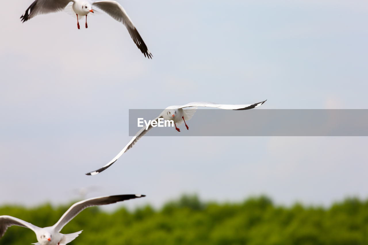 flying, bird, vertebrate, animal themes, animals in the wild, animal wildlife, animal, spread wings, mid-air, group of animals, sky, motion, nature, no people, day, focus on foreground, low angle view, plant, two animals, outdoors, seagull