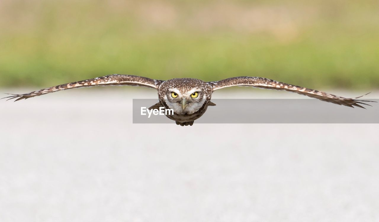 one animal, animal themes, animal wildlife, animal, animals in the wild, bird, vertebrate, spread wings, close-up, day, nature, no people, flying, looking at camera, selective focus, bird of prey, focus on foreground, portrait, front view, outdoors, animal head, animal eye