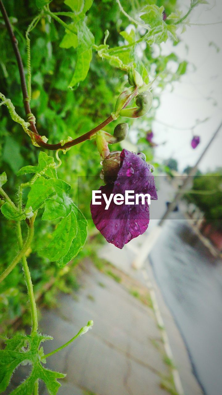 leaf, plant, purple, nature, growth, green color, beauty in nature, day, no people, outdoors, flower, freshness, close-up, fragility, flower head