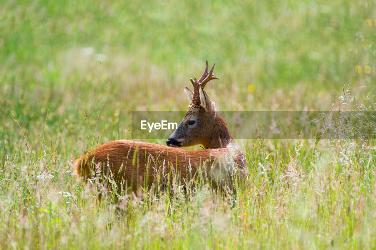 grass, one animal, animals in the wild, animal wildlife, selective focus, nature, animal themes, outdoors, antler, mammal, day, no people, stag, beauty in nature