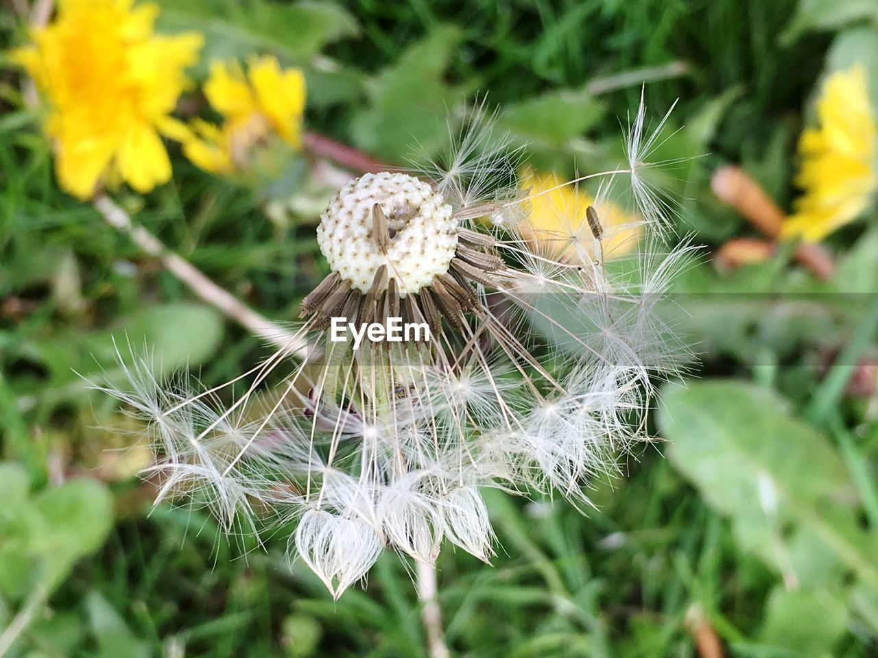 fragility, flower, vulnerability, flowering plant, plant, dandelion, freshness, beauty in nature, growth, close-up, inflorescence, nature, flower head, day, focus on foreground, softness, no people, white color, dandelion seed, field, outdoors