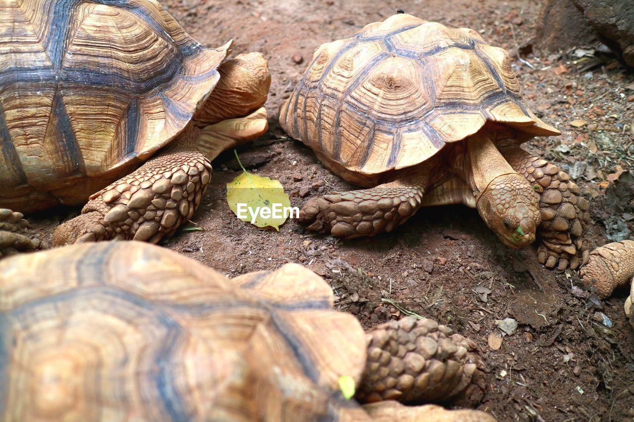 turtle, reptile, animal themes, animal wildlife, animal, tortoise, animals in the wild, vertebrate, shell, animal shell, one animal, nature, tortoise shell, land, day, close-up, selective focus, field, no people, marine