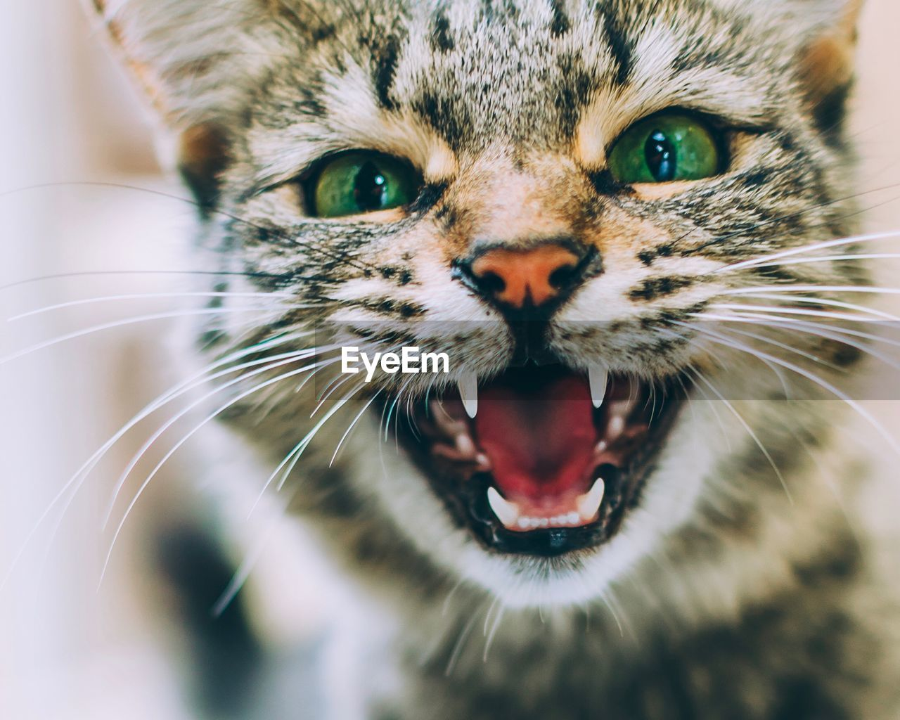 Close-up portrait of cat screaming