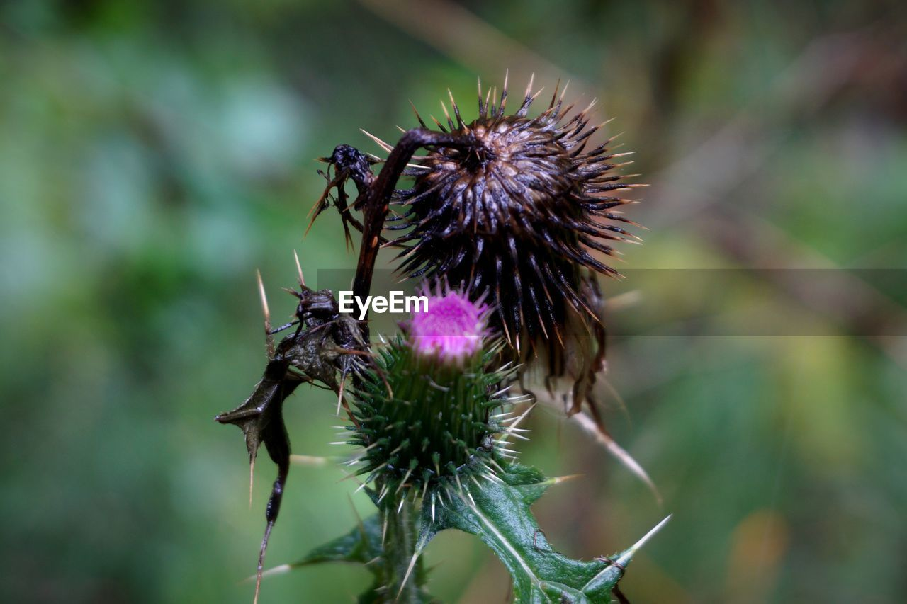 flower, nature, focus on foreground, fragility, day, growth, plant, insect, purple, no people, outdoors, thistle, animal themes, animals in the wild, one animal, beauty in nature, flower head, close-up, pollination, bee, freshness