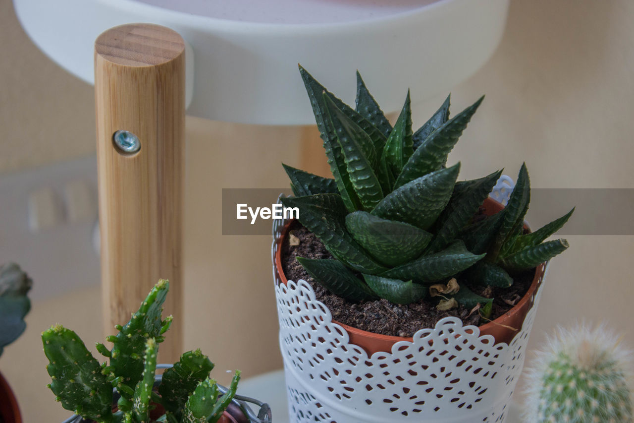 succulent plant, cactus, potted plant, green color, plant, leaf, no people, plant part, growth, nature, close-up, indoors, focus on foreground, beauty in nature, table, day, houseplant, freshness, wood - material, flower pot