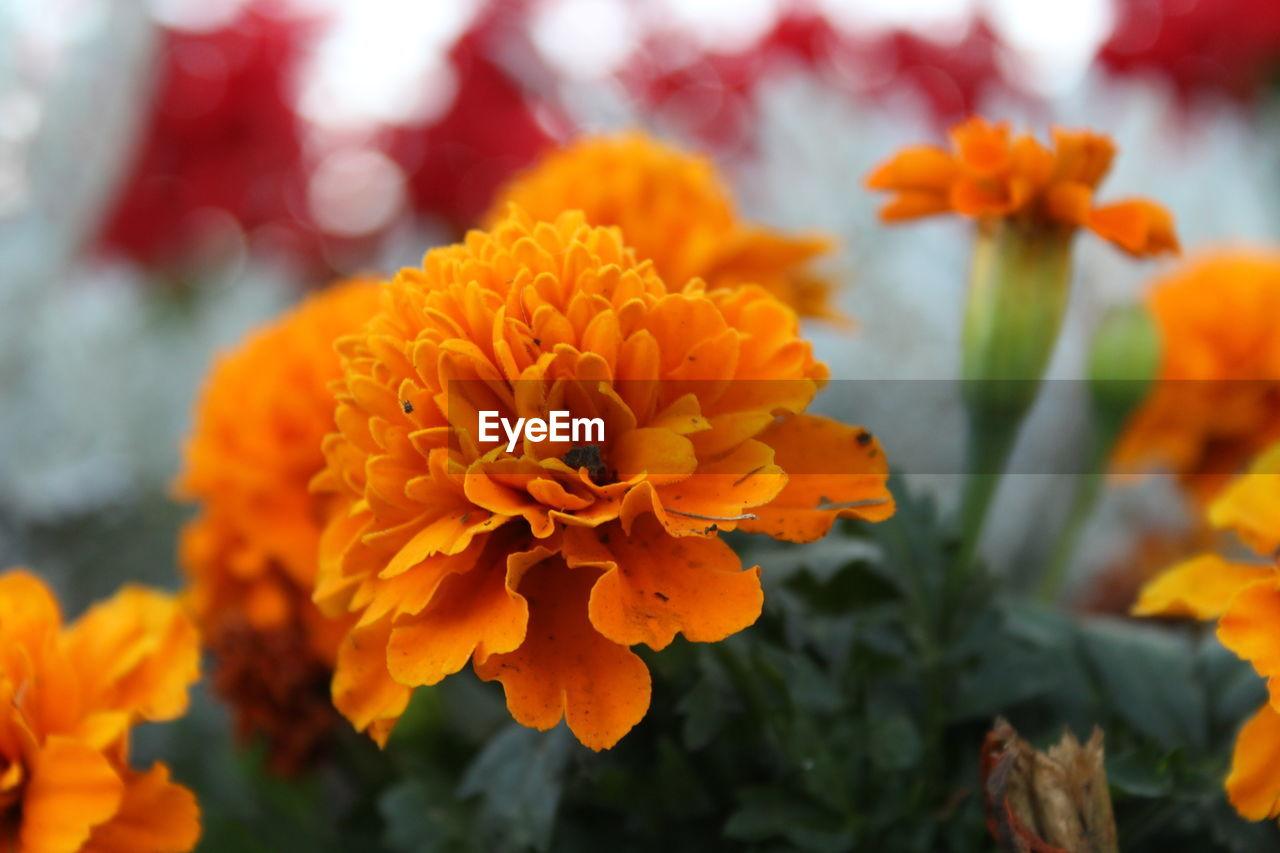 Close-Up Of Orange Marigold