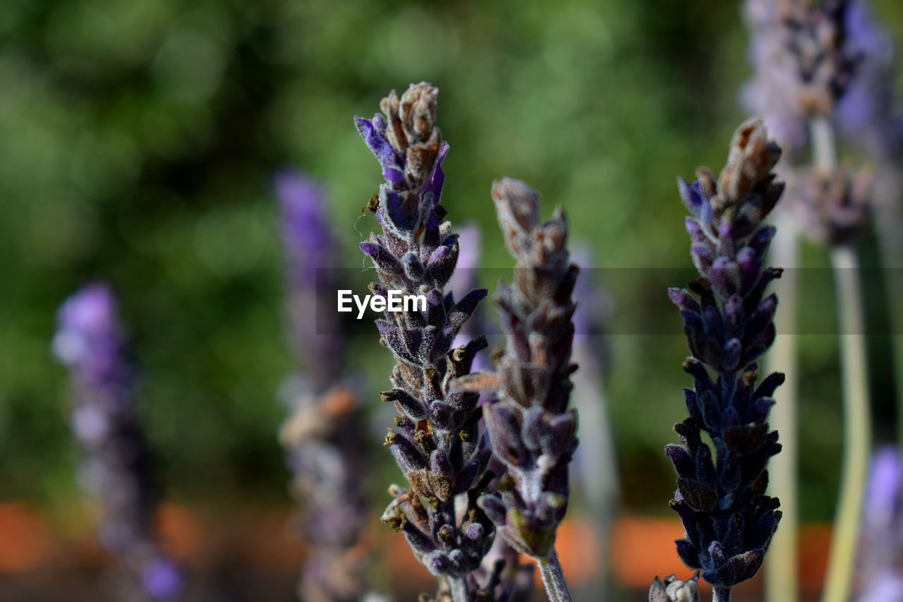 nature, purple, growth, lavender, day, no people, focus on foreground, plant, outdoors, beauty in nature, close-up, fragility, flower, freshness
