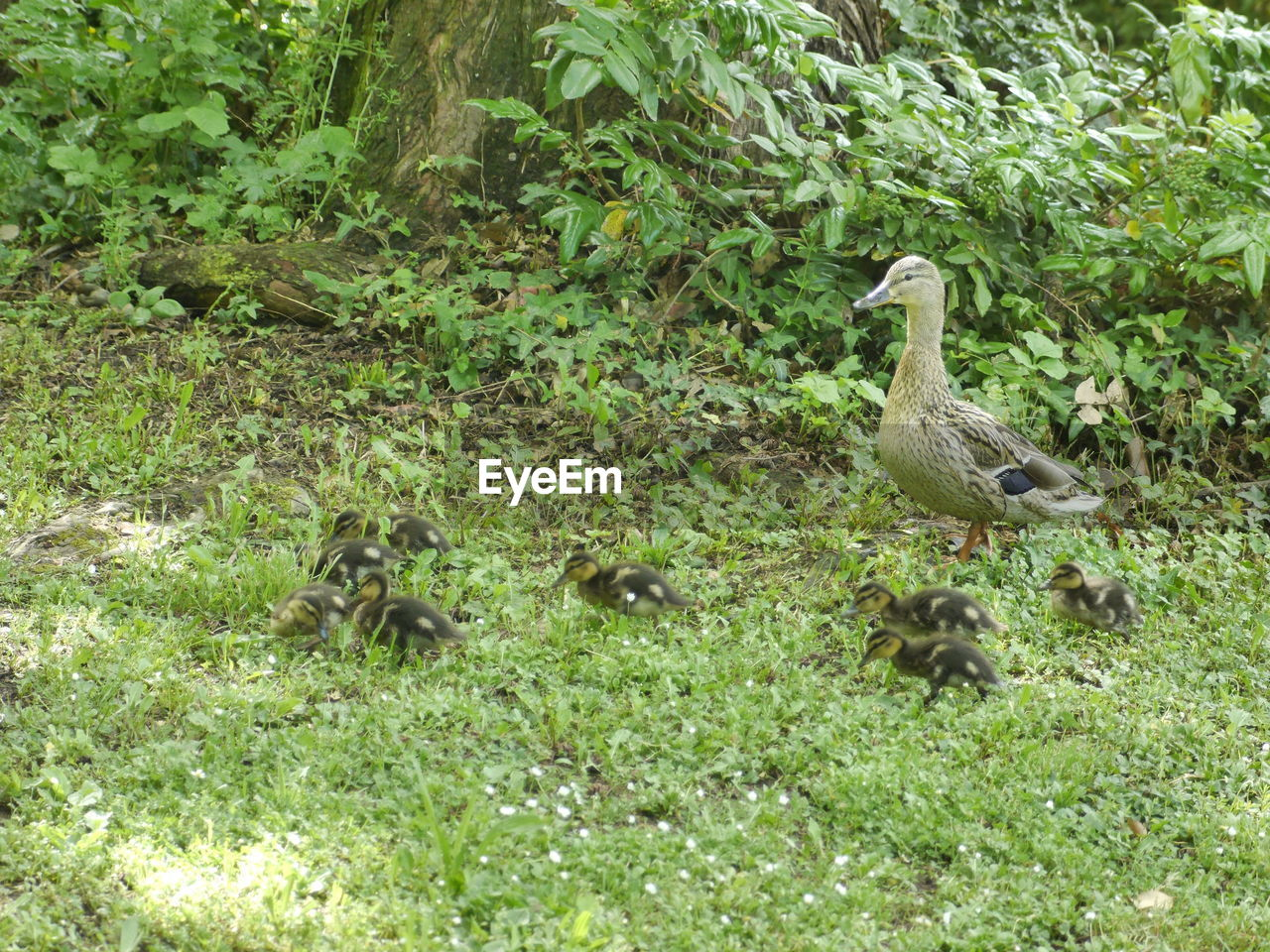animal themes, bird, animals in the wild, young bird, young animal, gosling, animal wildlife, animal family, nature, grass, day, no people, goose, outdoors, green color, duckling, growth, togetherness