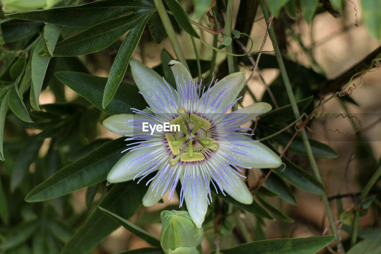 plant, flower, flowering plant, freshness, growth, fragility, beauty in nature, vulnerability, flower head, inflorescence, petal, close-up, passion flower, purple, pollen, leaf, nature, plant part, day, no people