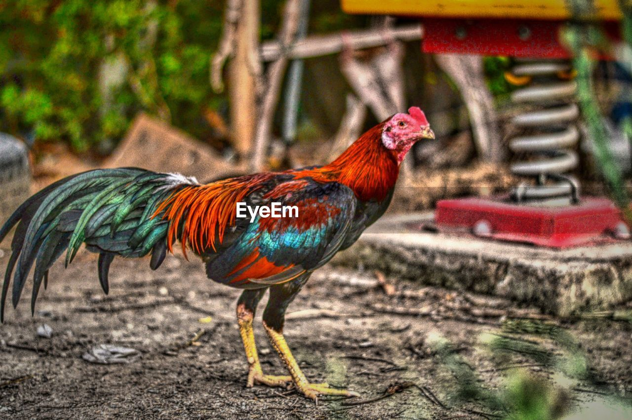 bird, chicken - bird, rooster, animal themes, livestock, one animal, domestic animals, focus on foreground, multi colored, day, no people, outdoors, cockerel, nature, close-up
