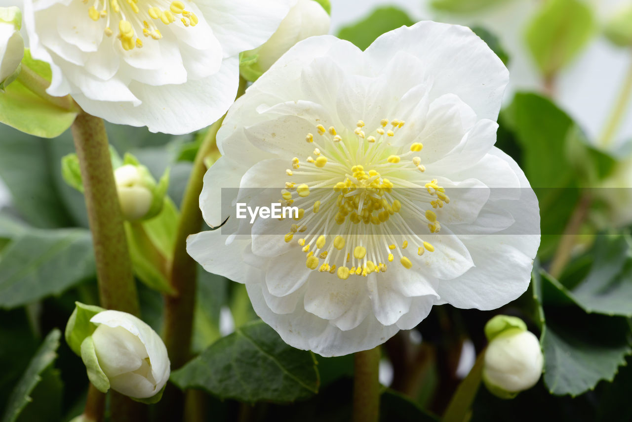 white color, flower, petal, beauty in nature, nature, growth, plant, fragility, freshness, flower head, no people, close-up, focus on foreground, day, leaf, outdoors, blooming