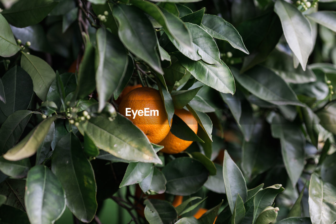 leaf, plant part, fruit, orange color, growth, healthy eating, plant, freshness, food, citrus fruit, food and drink, beauty in nature, close-up, nature, orange, no people, orange - fruit, day, green color, wellbeing, outdoors, ripe