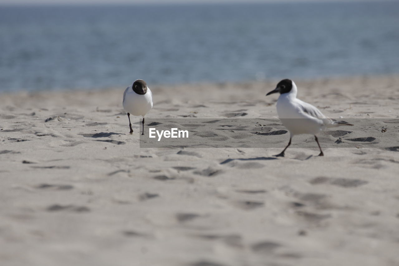 Black-headed gulls at beach