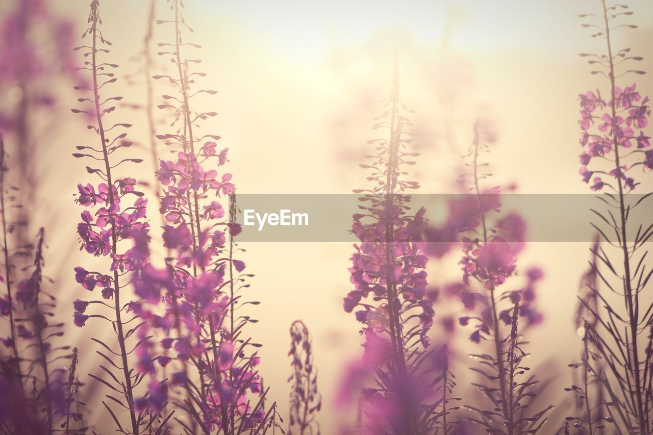plant, flower, flowering plant, growth, beauty in nature, selective focus, no people, nature, close-up, freshness, fragility, vulnerability, day, outdoors, tranquility, sky, field, land, plant stem, focus on foreground, purple