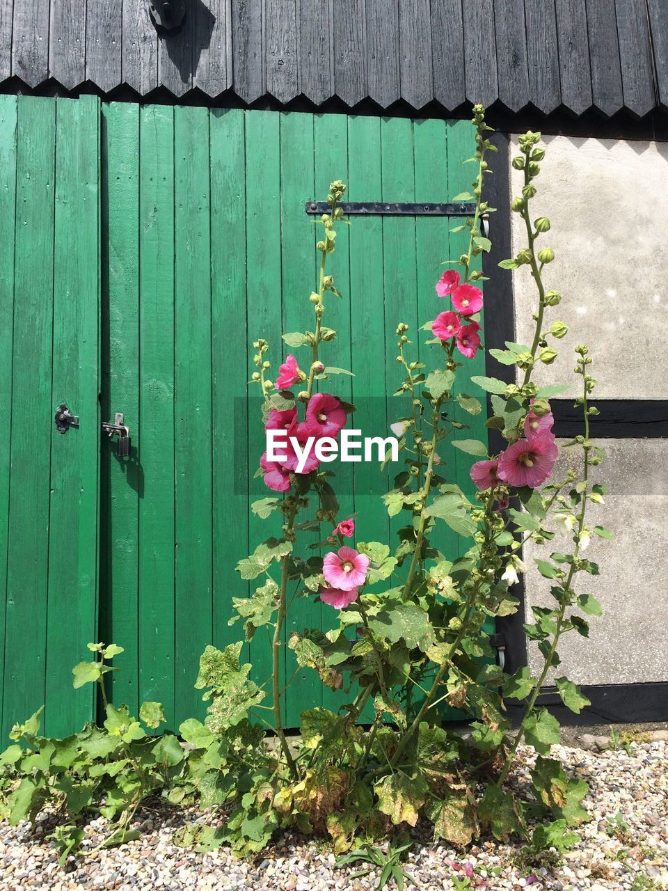 flower, growth, plant, outdoors, no people, nature, pink color, architecture, day, beauty in nature, building exterior, green color, blooming, built structure, fragility, freshness, close-up