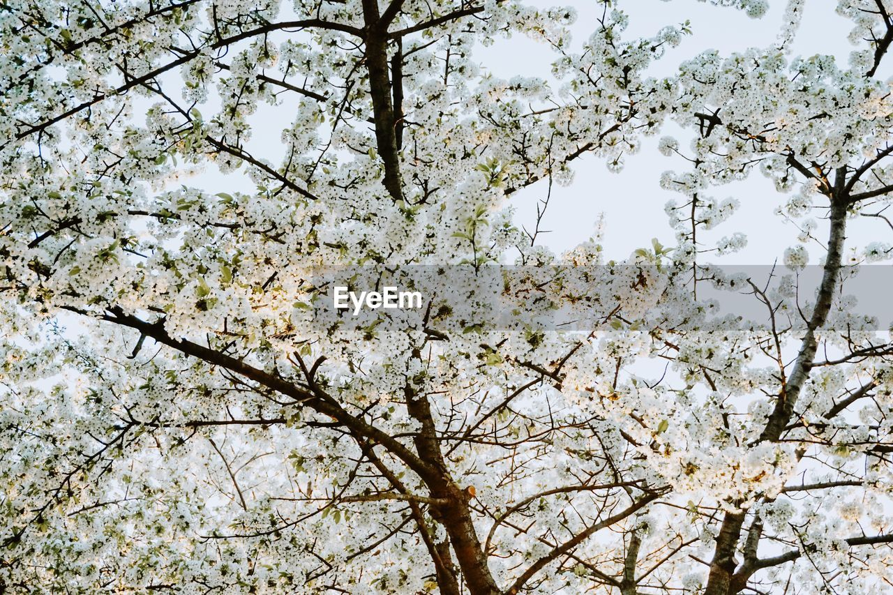tree, plant, branch, low angle view, flower, blossom, flowering plant, beauty in nature, growth, nature, fragility, springtime, no people, day, vulnerability, freshness, sky, cherry blossom, fruit tree, outdoors, cherry tree, spring
