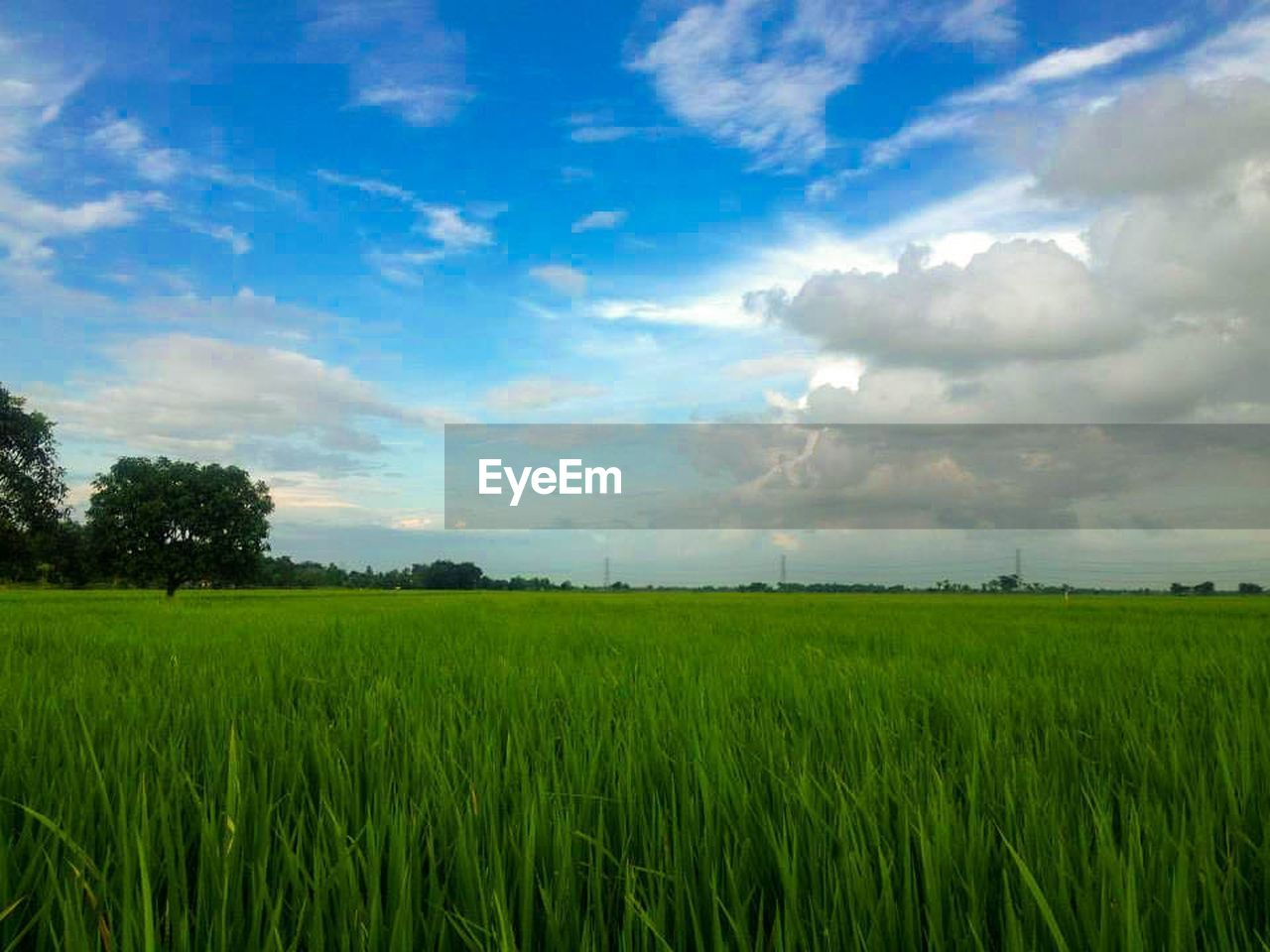 field, agriculture, growth, nature, landscape, farm, sky, crop, tranquility, beauty in nature, rural scene, scenics, tranquil scene, cereal plant, no people, green color, grass, outdoors, tree, day