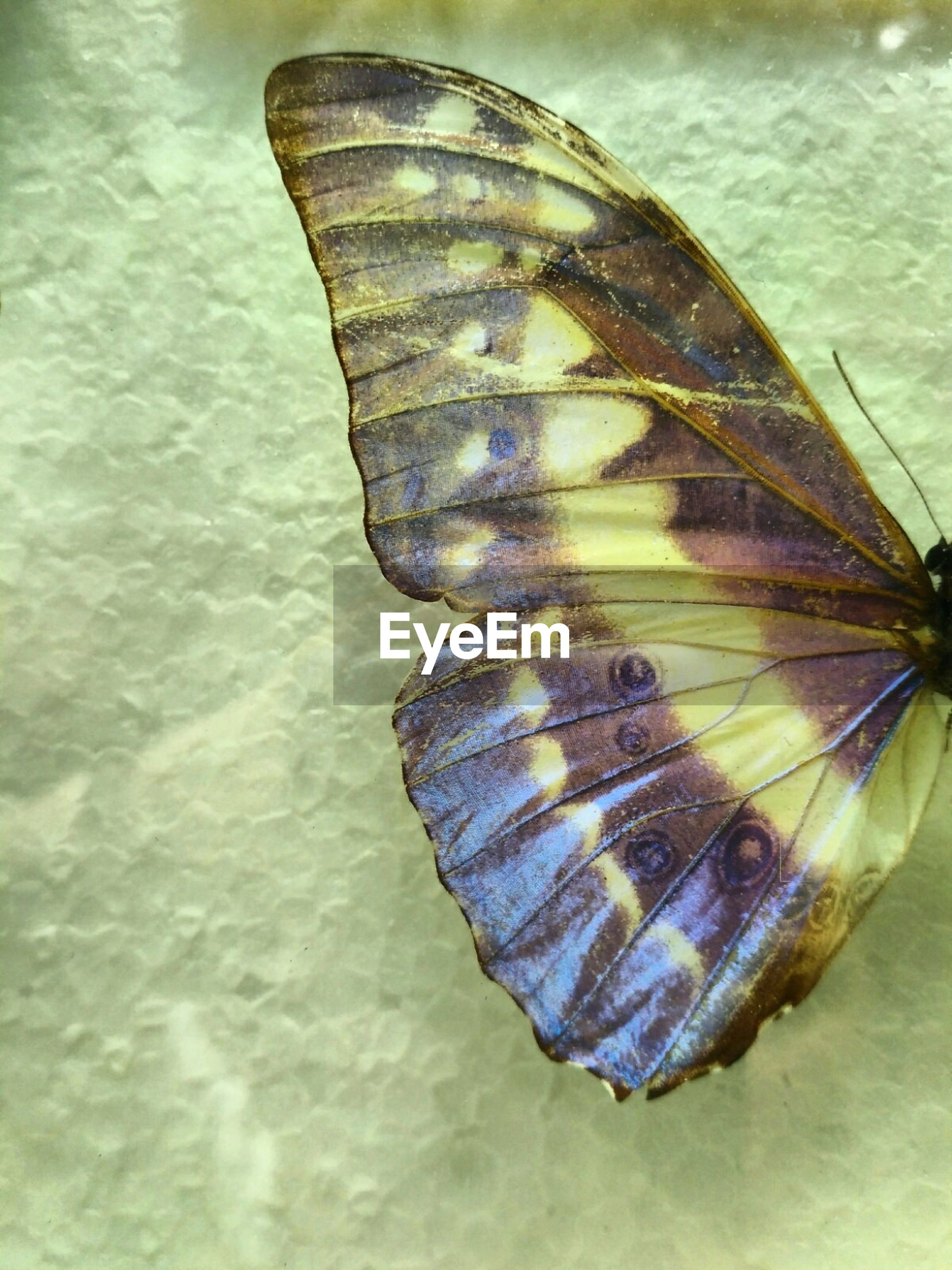 insect, butterfly - insect, animal wing, animal themes, one animal, butterfly, no people, animals in the wild, nature, animal markings, close-up, spread wings, day, outdoors, beauty in nature