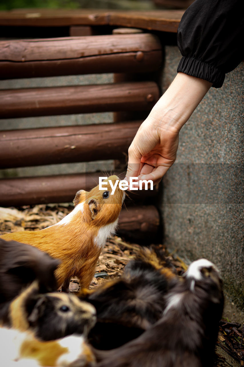 Cute red guinea pig stretches for chips straight from the breeder's hand. cavia porcellus candy