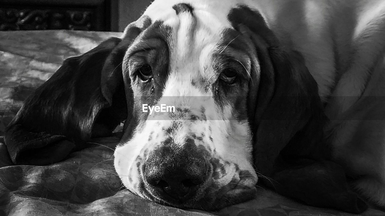 dog, domestic animals, pets, mammal, one animal, animal themes, indoors, no people, relaxation, close-up, lying down, portrait, bed, day