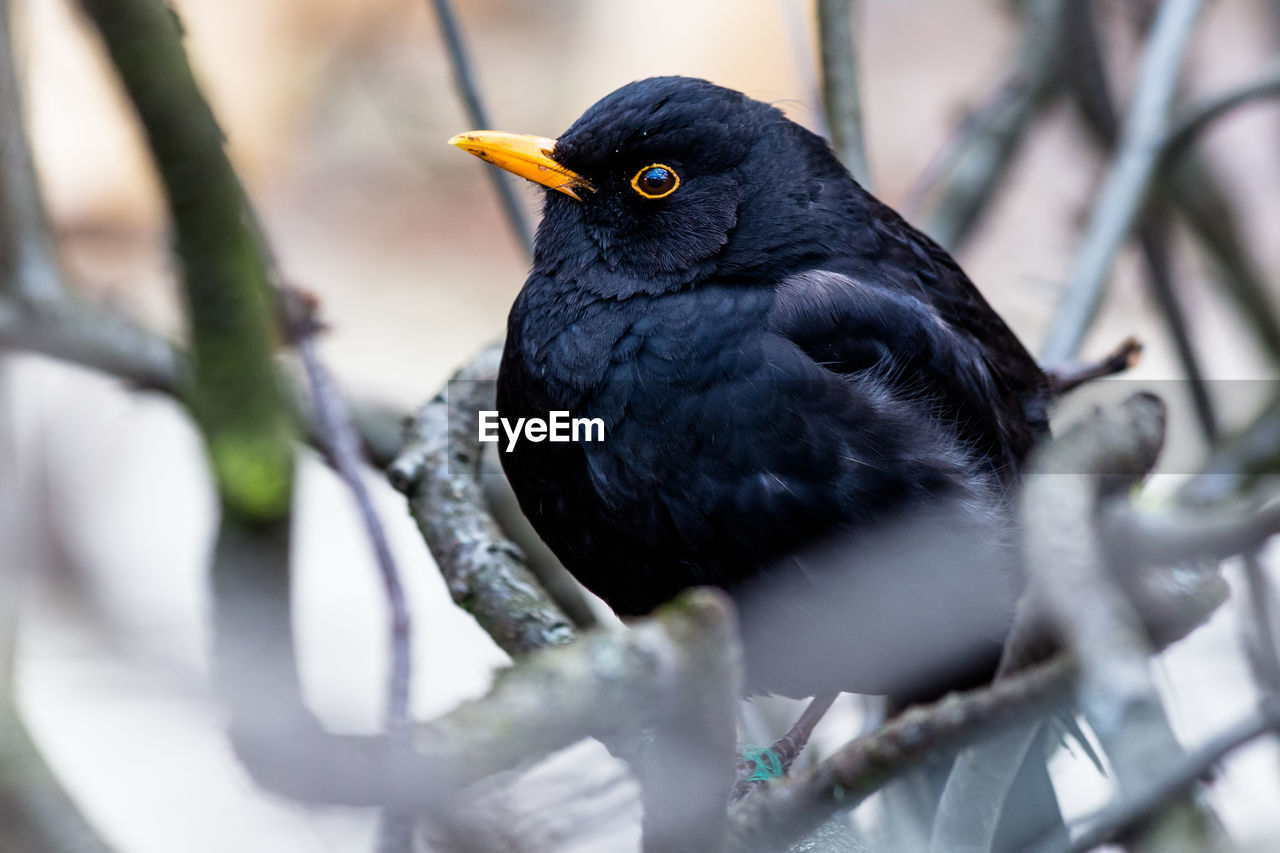 bird, vertebrate, animal themes, animal, one animal, animal wildlife, animals in the wild, selective focus, branch, no people, black color, perching, blackbird, day, tree, plant, close-up, nature, outdoors, looking away, beak