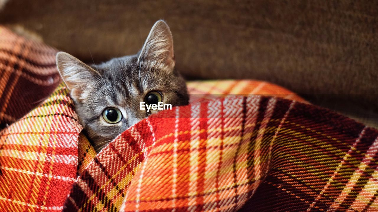 mammal, pets, animal, domestic animals, animal themes, one animal, domestic, cat, feline, domestic cat, vertebrate, looking at camera, indoors, portrait, furniture, relaxation, sofa, textile, no people, close-up, whisker, animal head, animal eye