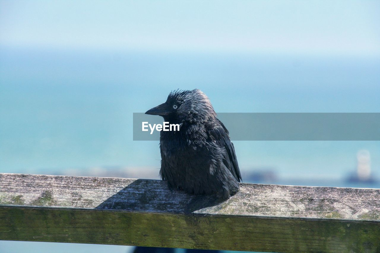 Close-up of raven perching on wooden railing against sky