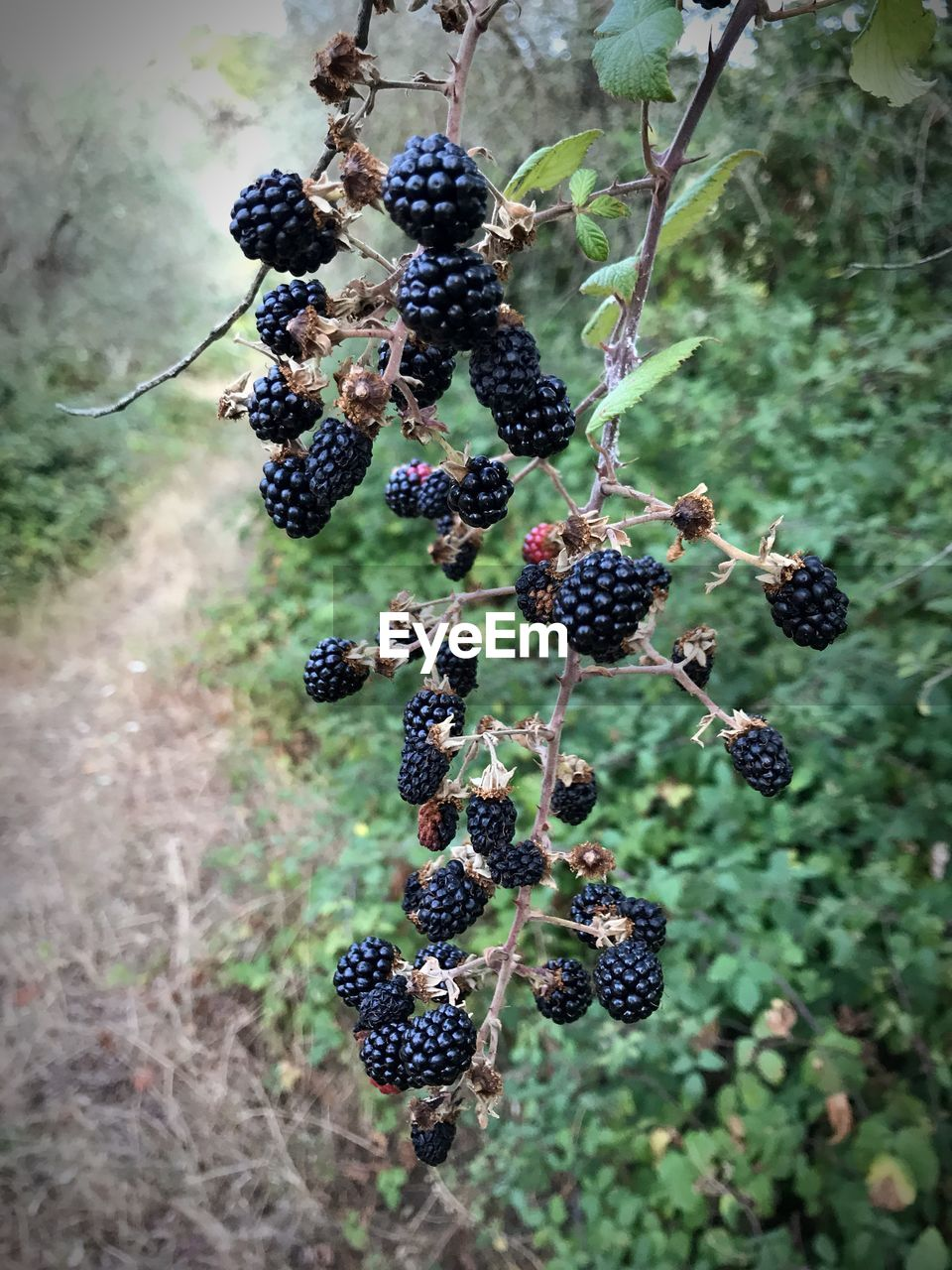healthy eating, food and drink, food, fruit, berry fruit, freshness, blackberry - fruit, wellbeing, focus on foreground, plant, growth, close-up, day, no people, tree, ripe, nature, blackberry, outdoors, hanging