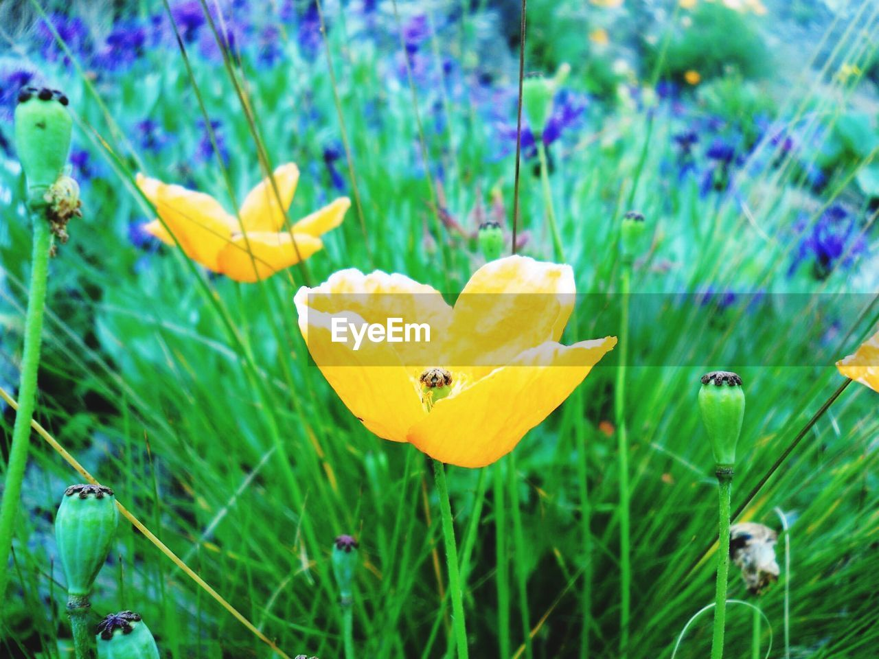 flower, growth, nature, plant, petal, yellow, beauty in nature, fragility, freshness, outdoors, flower head, grass, no people, blooming, day, close-up, water