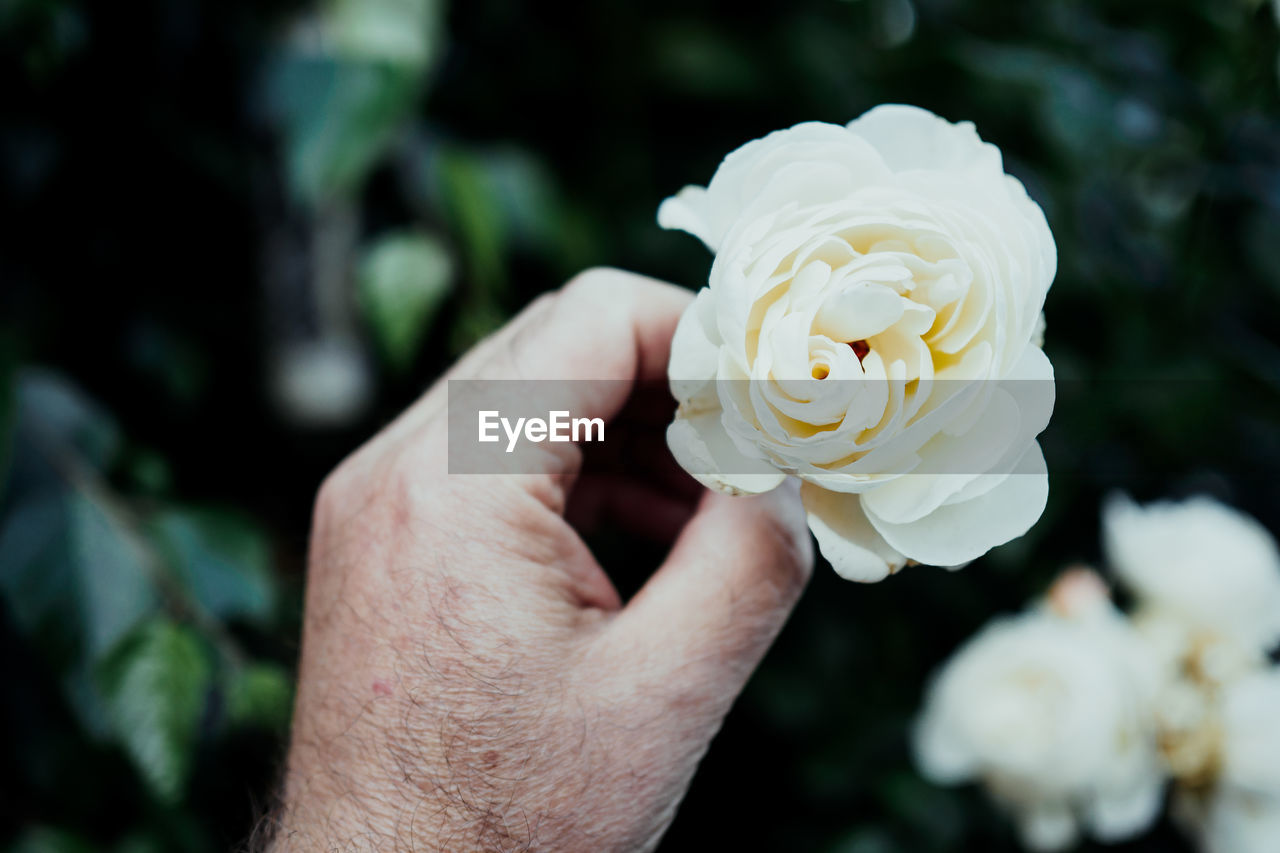 Cropped Image Of Senior Man Holding White Flower